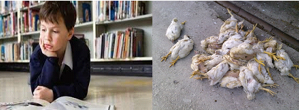 Mitos Melamun dapat menyebabkan ayam mati