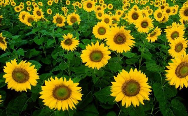 Ramuan Herbal Dari Bunga Matahari Untuk Penyakit Kanker Lambung