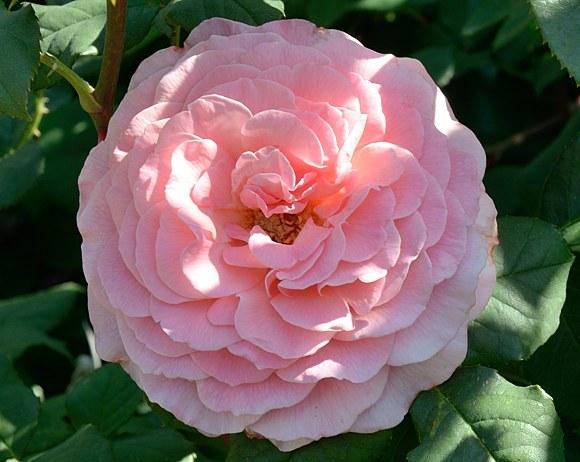 Tickled Pink сорт розы фото Минск купить питомник