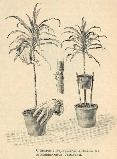 размножение комнатных цветов