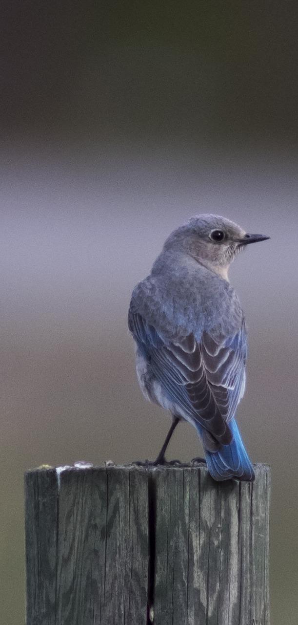 Picture of a female bluebird.