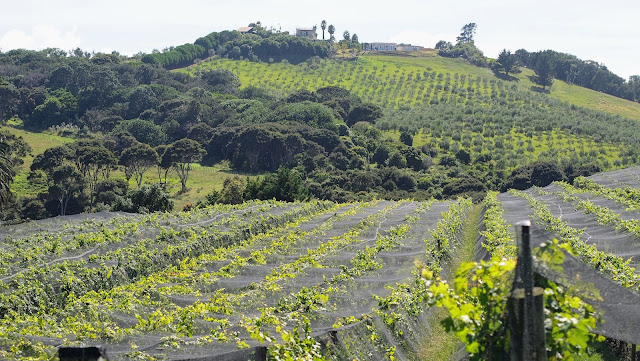 Vineyards on Waiheke Island on a day trip from Devonport Auckland New Zealand