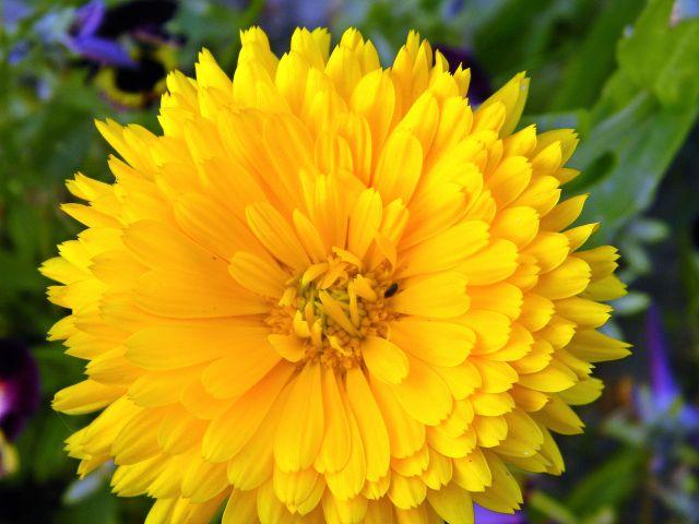 kwiaty ogrodowe, lato, płatki, działka