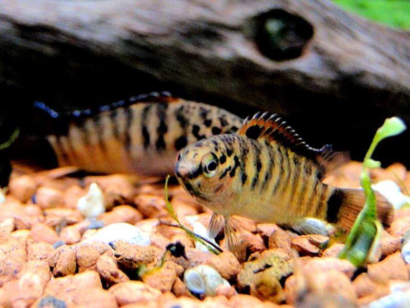 ikan hias spesies perwakilan