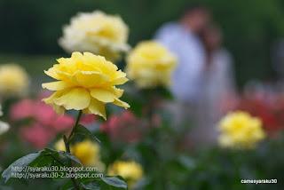 黄色の薔薇と人影の写真