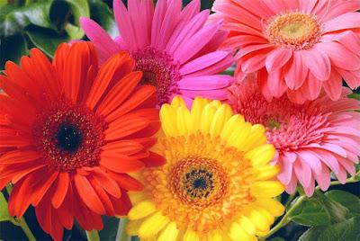 Nomes de flor para meninas - Gérbera (Foto: FloresCulturamix)