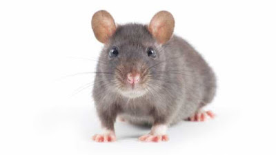 Fun Facts about rats for all animal lovers