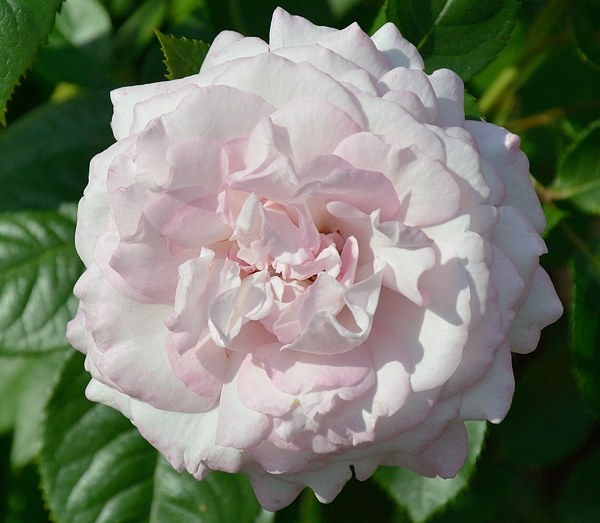 Kordes' Rosenfaszination сорт розы фото