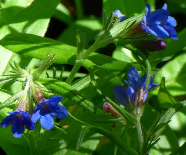 Flori Albastre Salbatice Padure Macin meisor albastru (Lithospermum purpureo-coeruleum)