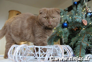 Scottish Fold cinnamon Tinjas