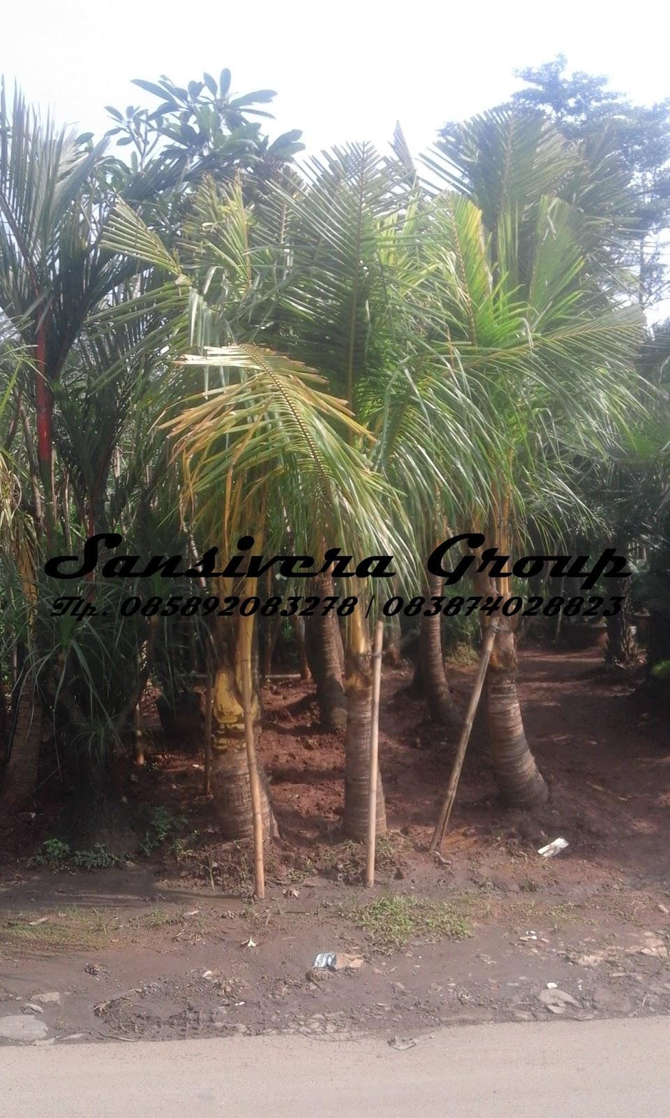 Jual pohon kelapa kuning  Khasiat Tanaman kelapa kuning