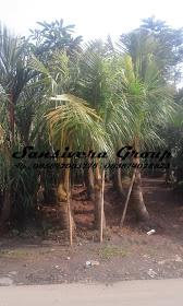 Pohon-kelapa-kuning