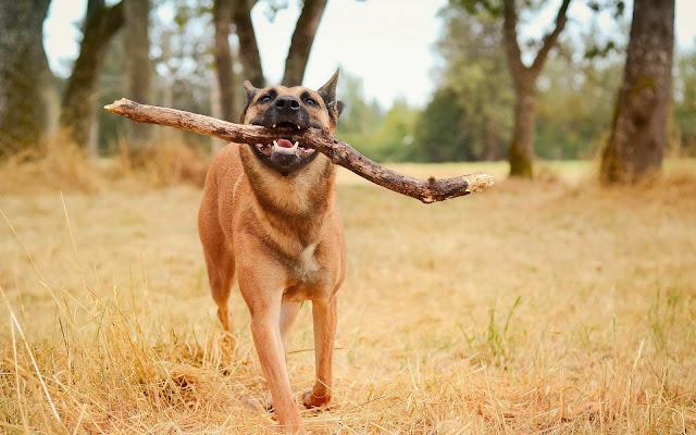 Hond met grote stok in zijn bek