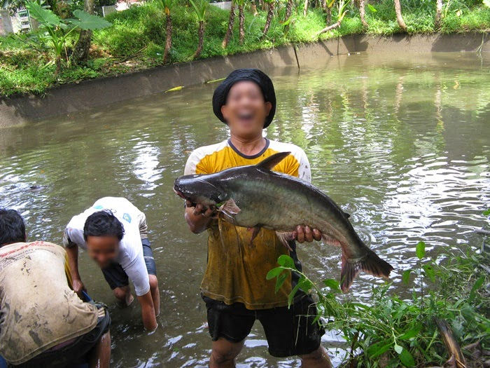 Mengatasi Penyakit dan Hama Budidaya Ikan Patin - BUDIDAYAKU