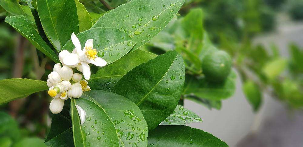 ดอกของต้นมะนาว