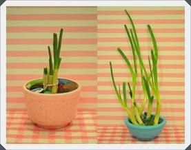 Kapalı Ortamda Yeşil Soğan  Yetiştirmek, Resimli Açıklamalı 3