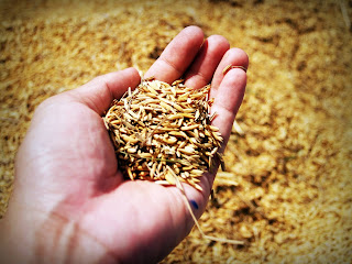 organic barley can lower blood pressure, cholesterol and maintain blood flow
