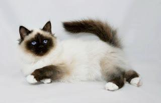 Gambar Kucing Birman