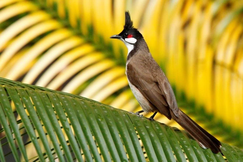 Top 10 Hình Ảnh Chim Chào Mào Đẹp Nhất