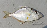 Yellowspotted Ponyfish