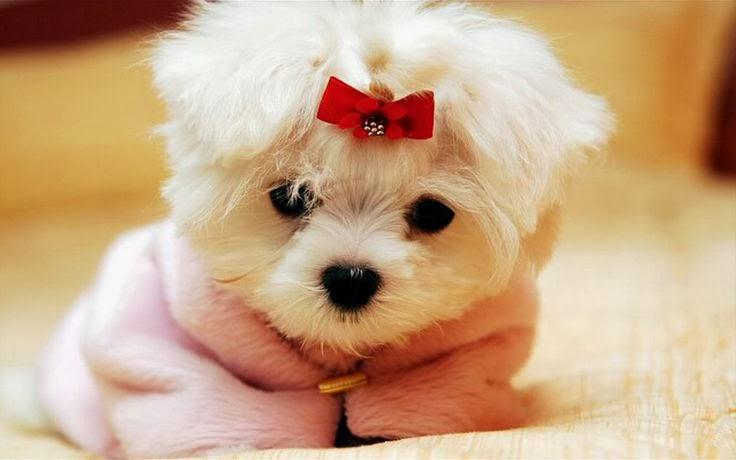 Small Baby Dogs Goldenacresdogs Com