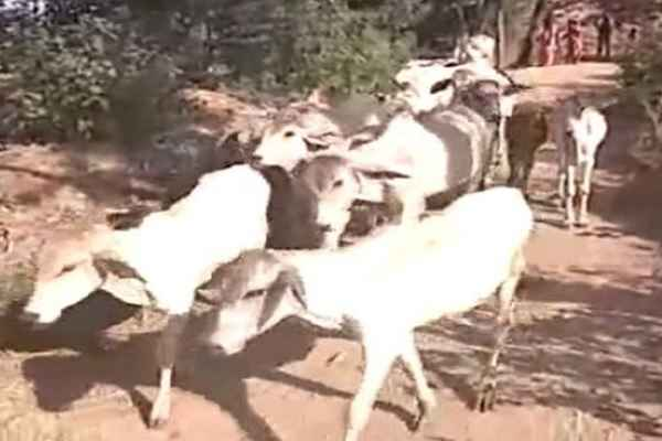 alwar-news-hindus-community-take-51-cows-from-muslim-family
