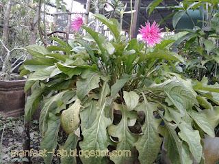 Keindahan bunga gebra pink