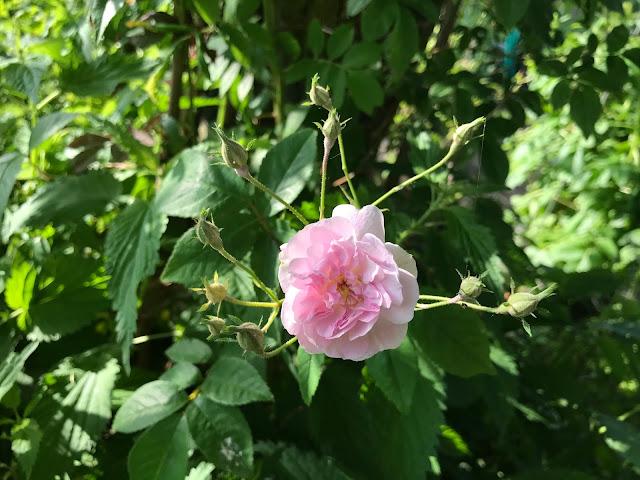 Ramblerrose Paul's Himalayan Musk (c) by Joachim Wenk