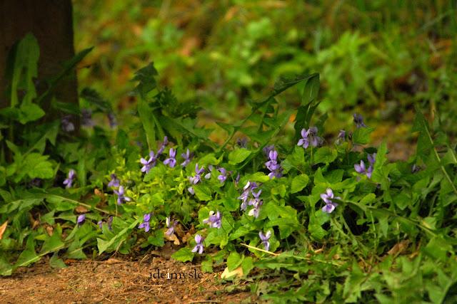 zieleń parkowa, jadalne kwiaty, fiołek leśny, viola reichenbachiana