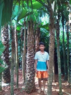 Harga jual pohon palm ostralis paling murah