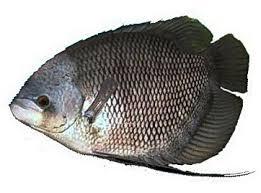 ikan gurame yang memiliki gambaran rasa sendiri ketika ini telah menjadi primadona bagi pembu Kabar Terbaru- CARA BUDIDAYA PEMIJAHAN IKAN GURAME
