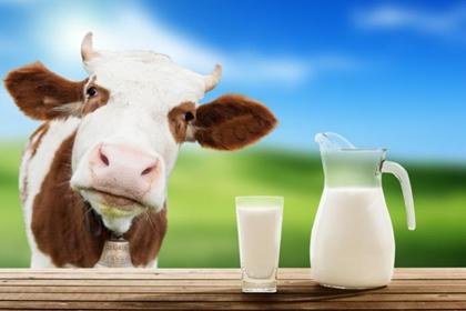 อันตรายจากนมวัว