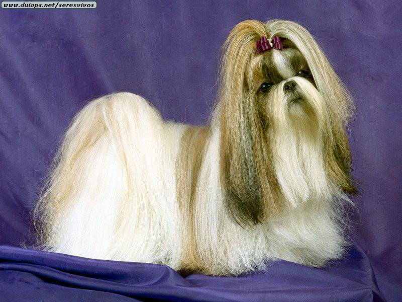 shih tzu hair care sharon s crazy pets marley s grooming 4045