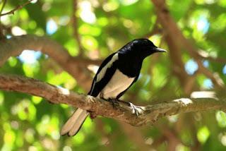 penulis akan membahas wacana manfaat pengembunan untuk burung kacer Manfaat pengembunan untuk burung kacer