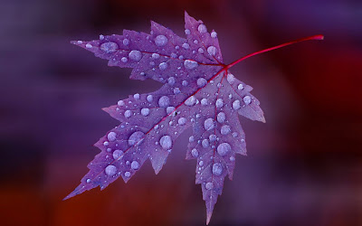 water drops on purple leaf widescreen hd wallpaper