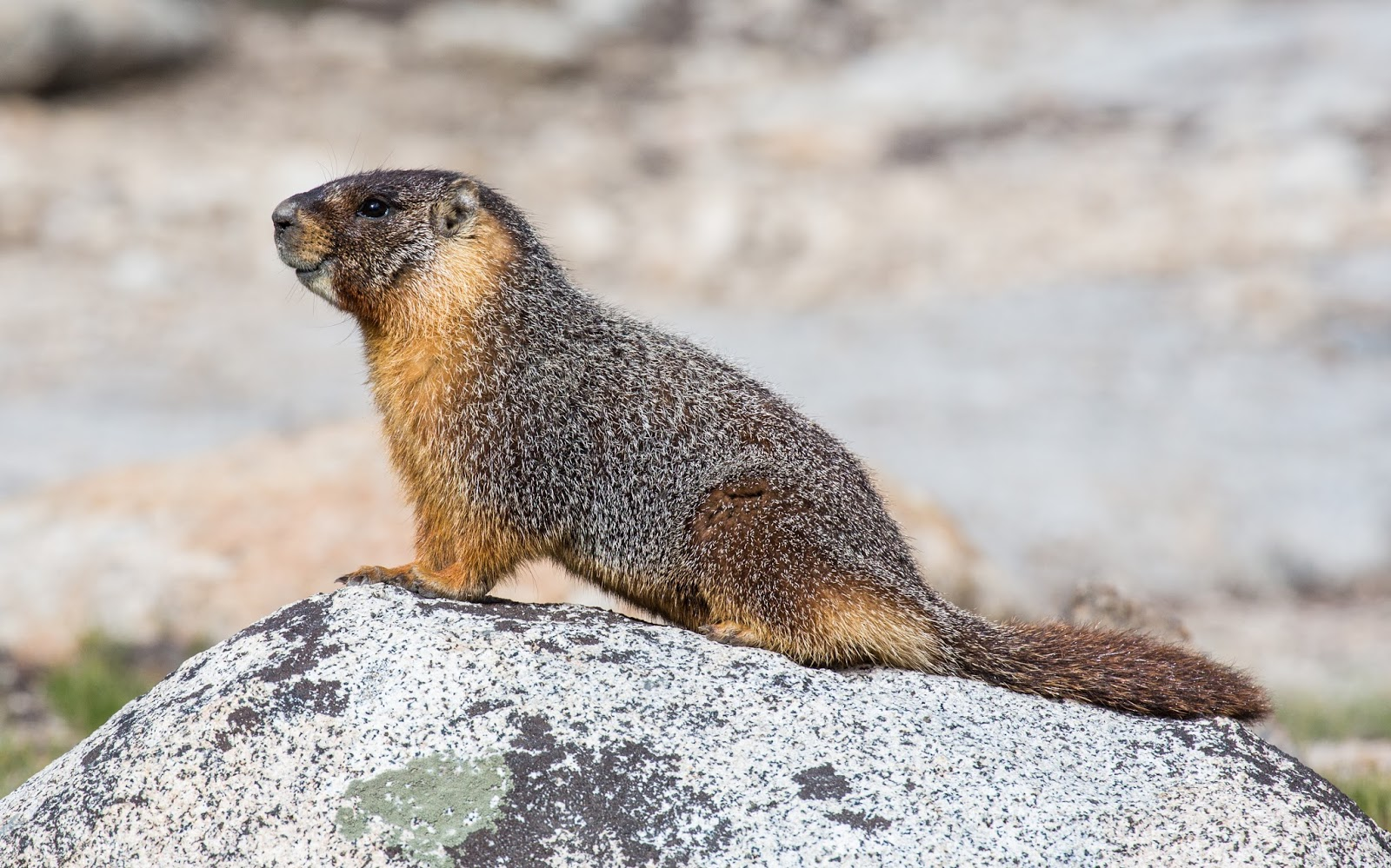 Mammals Animals: Marmota flaviventris (Yellow Bellied Marmot), Yosemite NP - Diliff