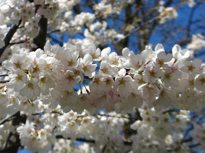 White Prunus x yedoensis Japanese flowering cherry blooms by garden muses: a Toronto gardening blog