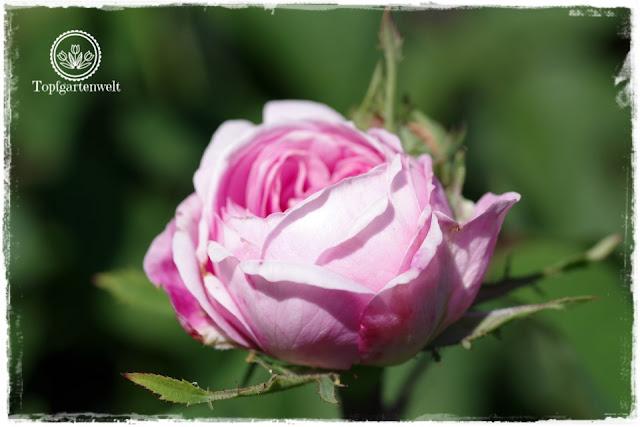 die richtigen Rosen für den Garten finden - Rose Hans Gönewein - Gartenblog Topfgartenwelt