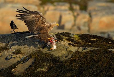 Golden Eagle hekte dating noen noen år yngre