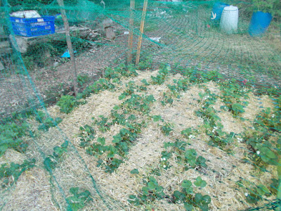 Strawberry bed with straw and net 80 Minute Allotment Green Fingered Blog