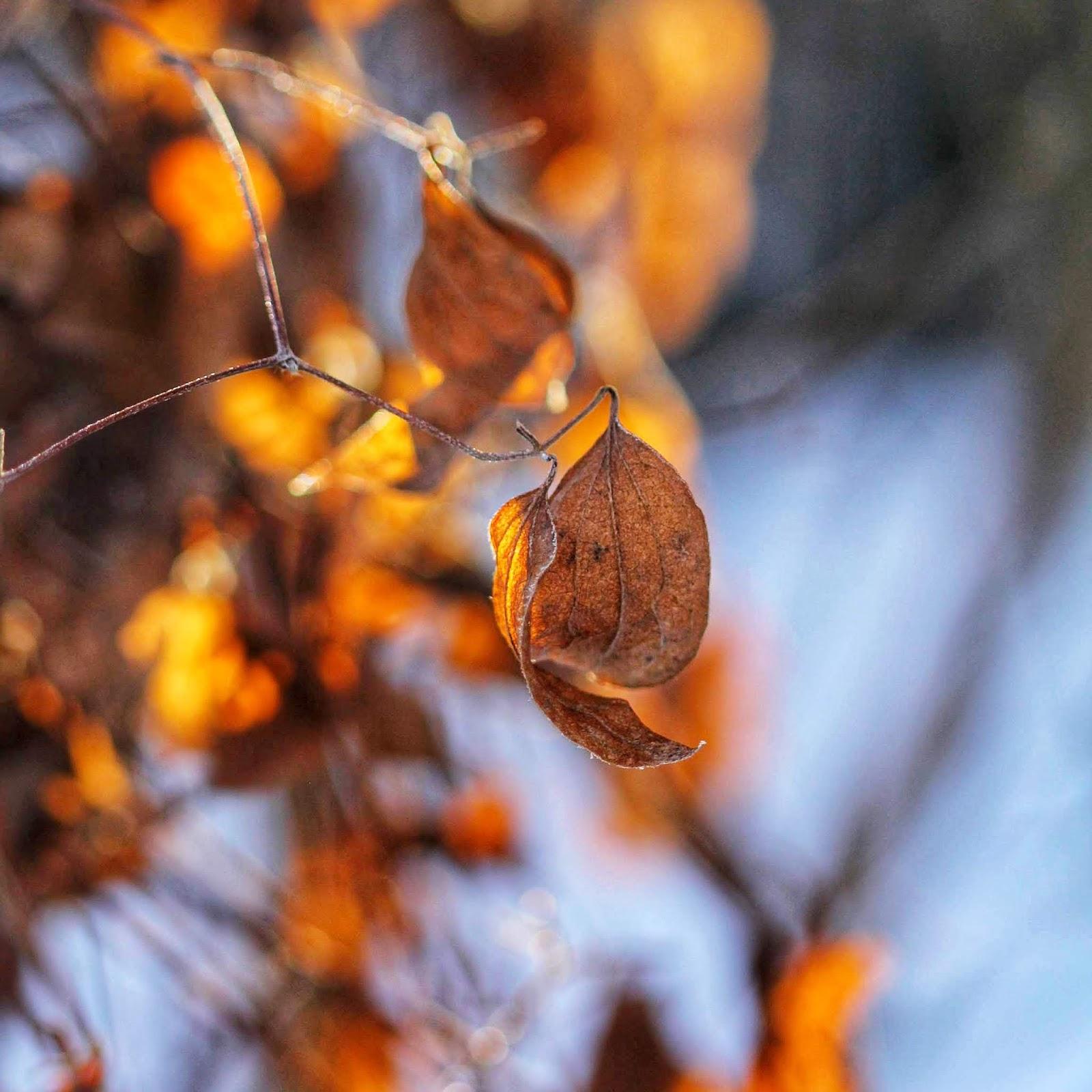 Brown leaves on a dead vine in winter www.ruralmag.com