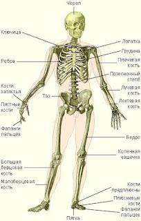 название костей в человеческом скелете