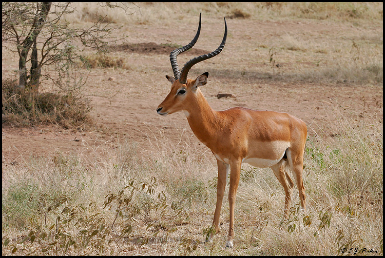 Animals pictures Black faced Impala