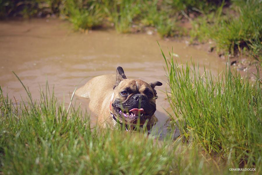 Hundbelog Genki Bulldog in der Schlammpfütze