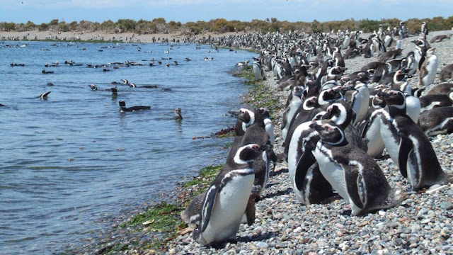 Los pingüinos en Punto Tombo, viajes y turismo