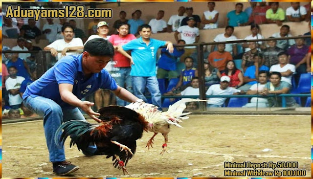 Agen Judi Sabung Ayam Paling Banyak Hoki Untuk Member