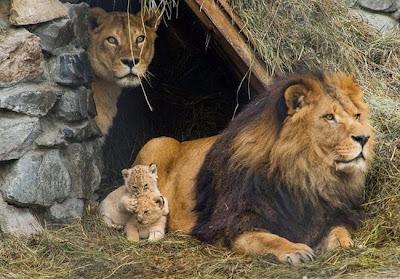 fotografia del reino animal León y cachorro