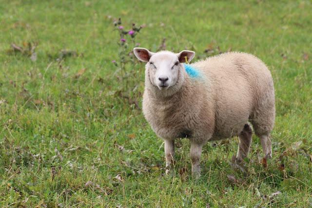 כבשי הצמר המפורסמות של האזור
