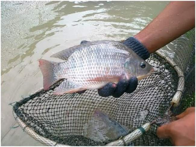 Yuk Dicoba, 5 Langkah Mudah Budidaya Ikan Nila