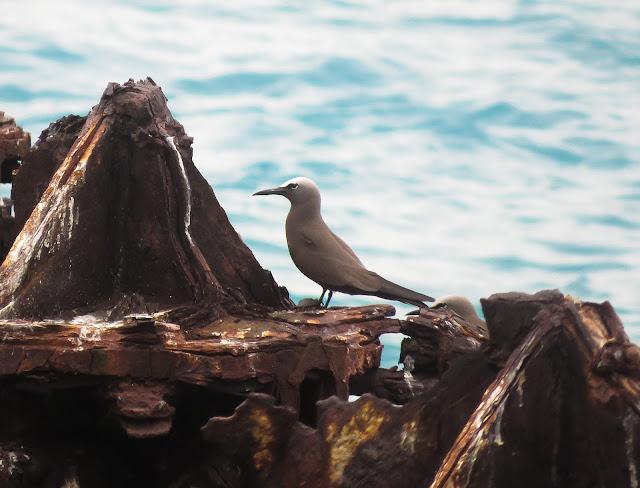 Brown Noddy - Dry Tortugas, Florida